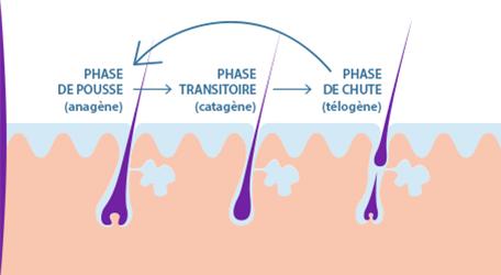cycle du cheveux